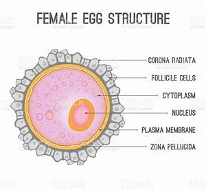 Female Egg Structure Stock Vector Art  U0026 More Images Of