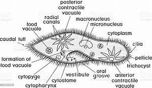Coloring Page Structure Of Paramecium Caudatum With Titles