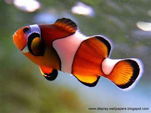 Wallpapers Download: Beautiful Fish Wallpapers For Desktop