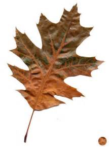 Image result for oak leaves