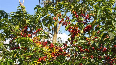 Ethiopia's Epicenter Of Arabica Coffee Ethiopian Coffee Acidity Export Prices For Sale Temple Yelp Buy Bassett Mid Century Modern Table Ceremony Steps Ethiopia Yirga