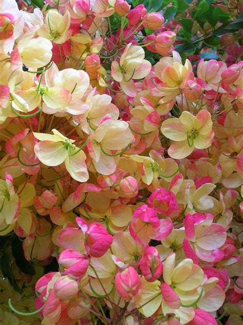 Rainbow Shower Tree - plant of the month rainbow shower tree west hawaii today