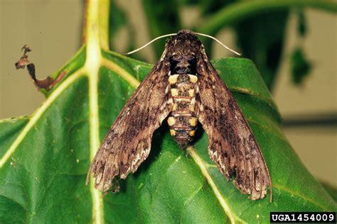 tomato hornworm manduca quinquemaculata lepidoptera