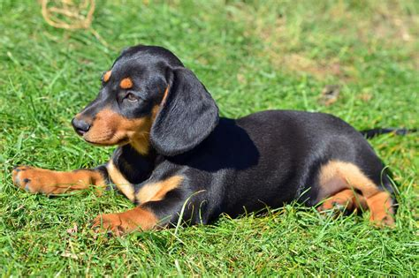 Dachshund (miniature) Breed Guide