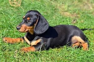 Short Haired Mini Daschund - Goldenacresdogs.com