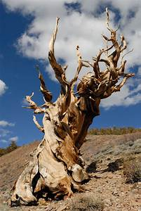 Read My Rings: The Oldest Living Tree Tells All ...