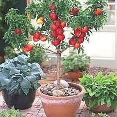 Arbres Fruitiers Nains En Pleine Terre : des arbres fruitiers nains pour votre balcon ~ Premium-room.com Idées de Décoration