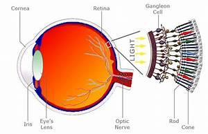 Eyes Diagram Rods Cines : bigshot learn eye illustrations ~ A.2002-acura-tl-radio.info Haus und Dekorationen