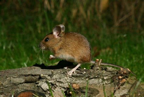show me pictures of mice image of the day by subject