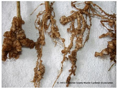 Rootknot Nematode Control For Home Gardens Colorado