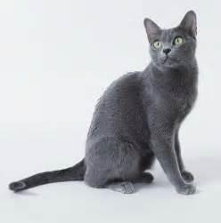 korat cat cat pictures gallery