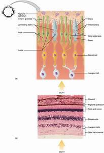 Photoreceptor Cell