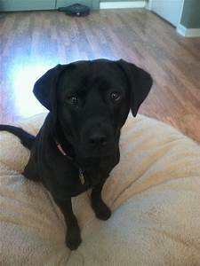 Black lab pit bull mix - shadow | Dogs | Pinterest