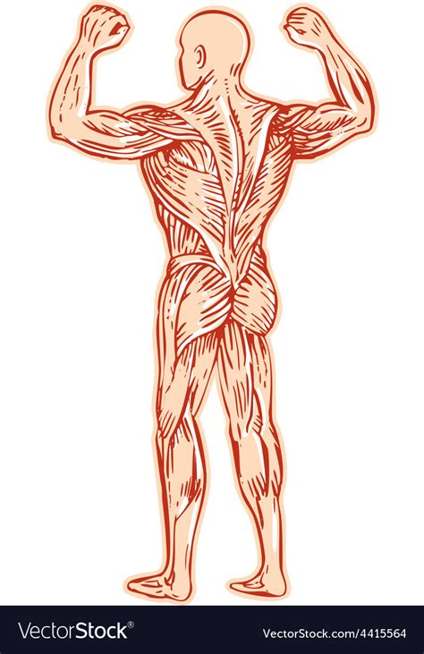 Muscular System Images Human Muscular System Anatomy Etching Royalty Free Vector