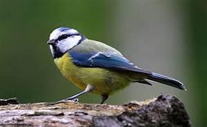 Oiseau Jaune Et Bleu : la m sange bleue petit oiseau haut en couleurs ~ Melissatoandfro.com Idées de Décoration