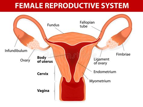 female reproductive system stock vector illustration