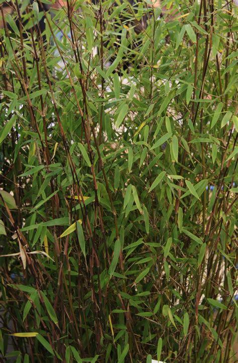tailler un bambou en pot 28 images attractive idee repas noel pas cher 6 femme actuelle