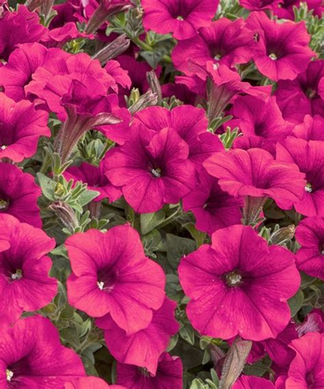 tidal wave petunias 107 best images about wave petunias on pinterest cherries plugs and easy waves