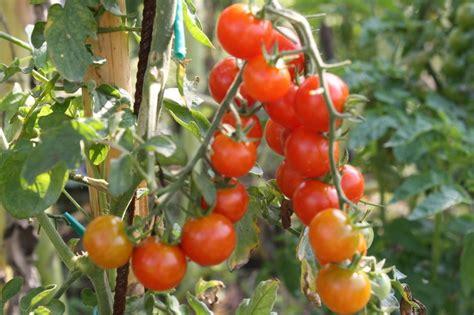 pianta  pomodoro origine  caratteristiche dei pomodori