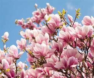 Fleur De Magnolia : magnolia plantation entretien taille pour une belle ~ Melissatoandfro.com Idées de Décoration