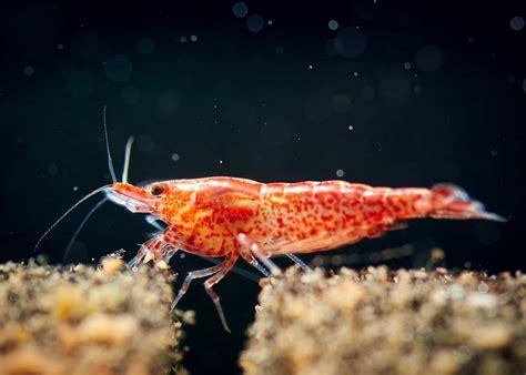 ultimate guide   cherry shrimp  care