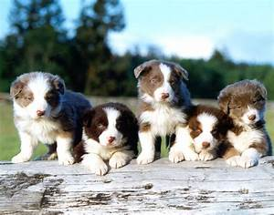 Border Collie - Puppies, Rescue, Pictures, Information ...
