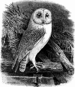 Free Clip Art Image - Vintage Barn Owl | Oh So Nifty ...