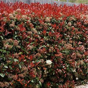 Photinia Red Robin : photinia fraseri red robin photinia hybride red robin ~ Michelbontemps.com Haus und Dekorationen
