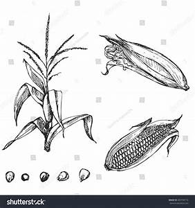 Hand Drawn Vector Illustration Set Corn Stock Vector ...