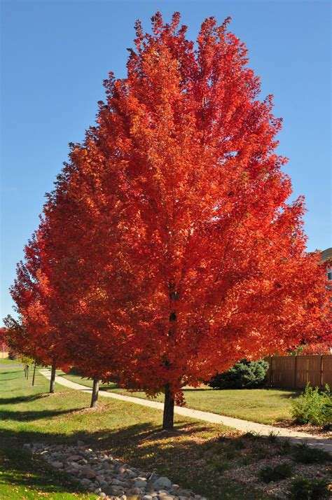 autumn blaze maple co horts november 2014
