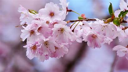 Cherry Blossoms Tree Blossom Branches Close Flower