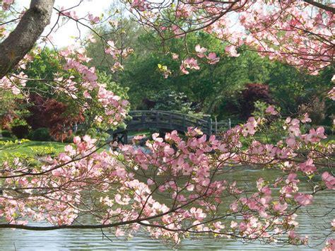 places   cherry blossoms     dc
