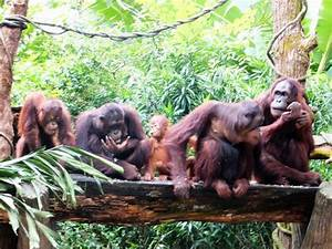 Orangutans at Breakfast - Picture of Singapore Zoo ...