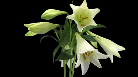 time lapse  growing opening  rotating white lily