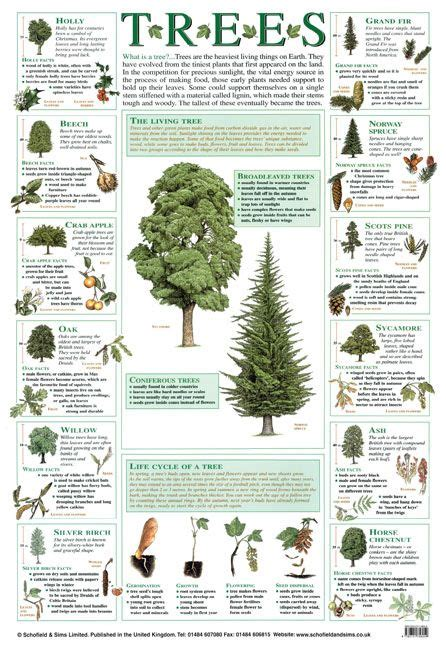 trees poster education ks1 ks2 naturalworld biology nature classroom cadette trees