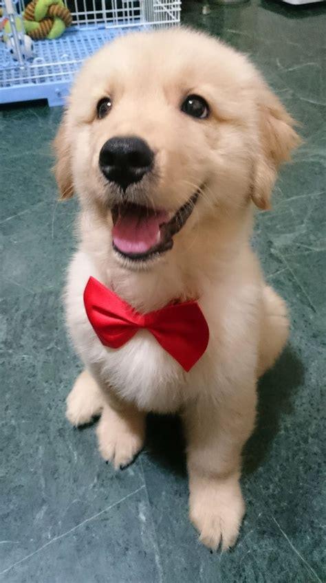 17 Best Ideas About Golden Retriever Puppies On Pinterest