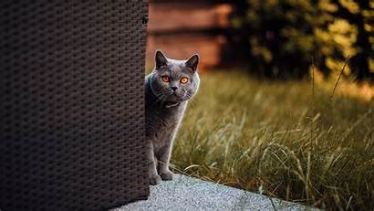 Cat British Shorthair Laptop Curiosity Tablet