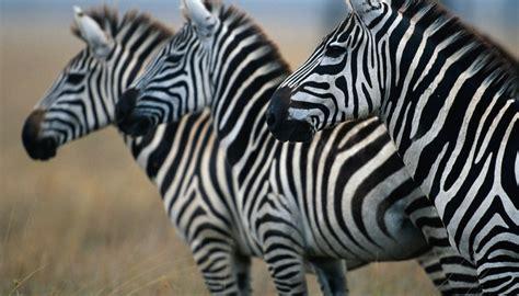 animals carnivores zebras herbivores eat plants getty eating horses gorillas anup shah vision digital habits