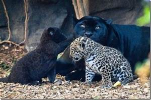 Which is the fastest: leopard, jaguar, panther or tiger ...