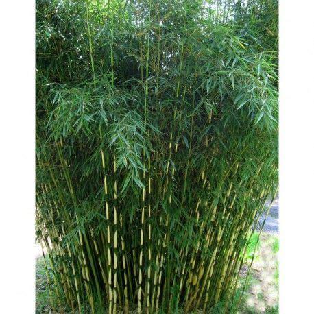 bambou non traçant pour haie le bambou fargesia robusta cbell est id 233 al pour une