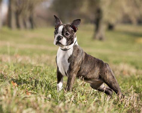 boston terrier hunde