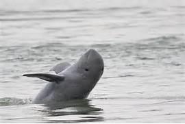 Irrawaddy Dolphin   Sp...Irrawaddy Dolphin