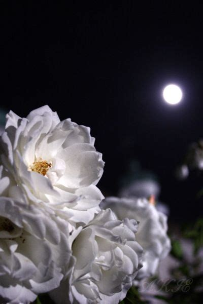 Images About Moonlight Roses Pinterest