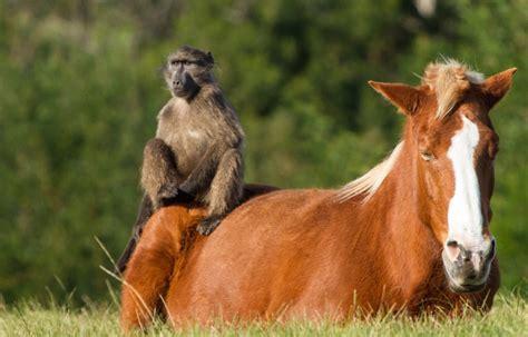 monkeyland horses famous horse baboons meet bay plettenberg za wild africa south