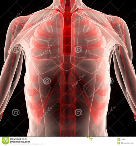 The rib cage surrounds the lungs and the heart, serving as an important means of bony protection for. Human Muscle Body With Ribs Stock Illustration ...