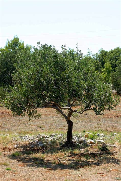 how much is an olive tree health benefits of olives hb times