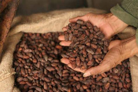 manfaat kakao biji coklat bagi kesehatan tubuh