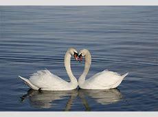 El Cisne, amor puro