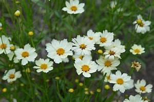 Coreopsis 'Star Cluster' | Mt. Cuba Center
