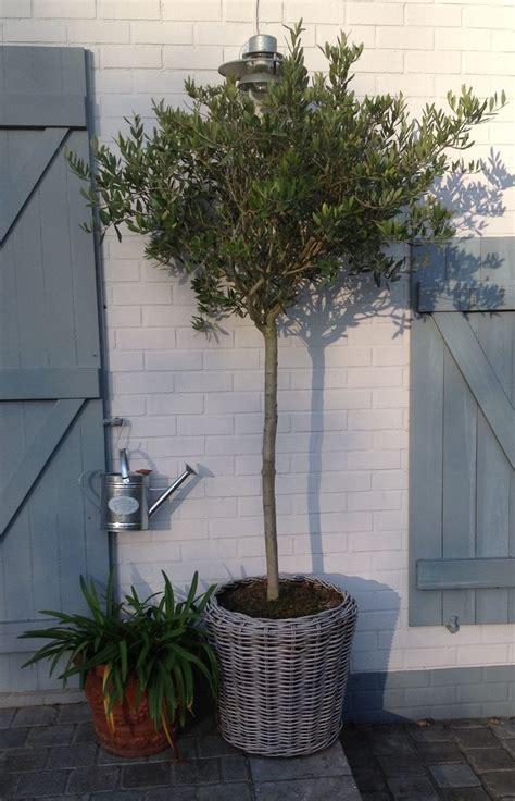 17 beste idee 235 n olivier en pot op planter un olivier patio en terrasse design